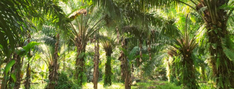 Putting palm oil on trial